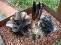 Mini steel succulents: Kalanchoe, Golden Barrell, Sansevieria, Graphto.